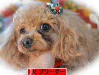ブログ村へのリンク[デュークスター犬舎]トイプードル ラブラドール 子犬販売/交配犬/ブリーダー