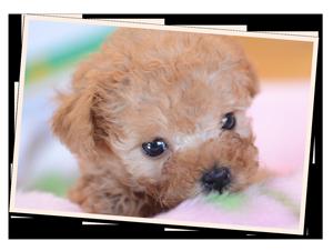 トイプードルの赤ちゃん3[デュークスター犬舎]トイプードル ラブラドール 子犬販売/交配犬/ブリーダー